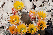 Texas Rainbow Cactus at Big Bend National Park, Texas. (Echinocereus pectinatus).