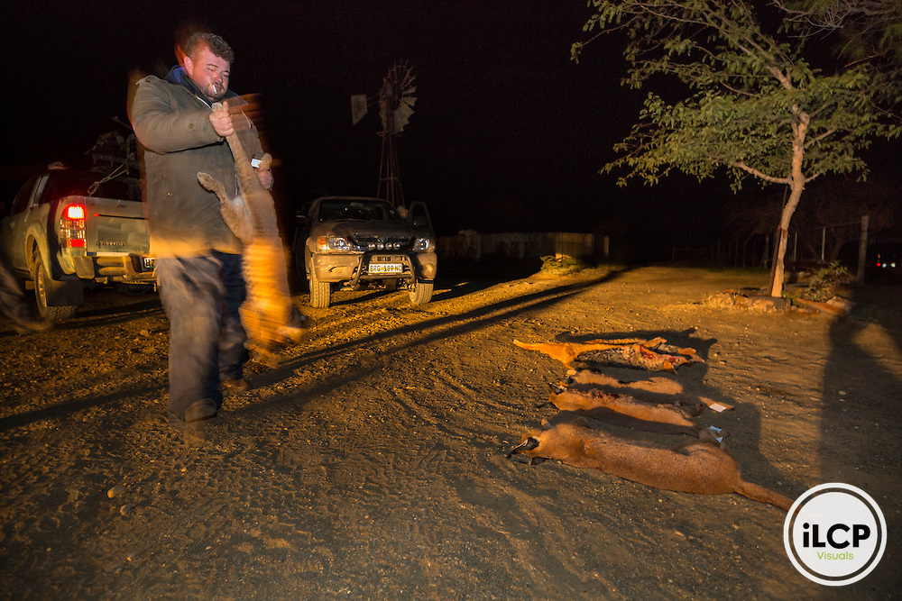 Back on night hunting. one of professional hunters has its hunting at night. A total of a dozen predators is reported every night for eight days.<br /> Rietbron, Eastern Cape, South Africa / Retour de la chasse nocturne. l'un des chasseurs professionnels dispose sa chasse de la nuit. Au total, une dizaine de pr&eacute;dateurs est rapport&eacute;e chaque nuit pendant 8 jours.<br /> Rietbron, Eastern Cape, Afrique du Sud