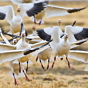flock of snow geese flys right into the camera, full frame