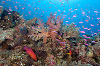 Vibrant Coral Reef with Soft Corals, Anthias, and Coral Cod.