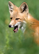 NEWS&GUIDE PHOTO / PRICE CHAMBERS.A fox kit yawns outside his home near the Teton Raptor Center on Sunday as he watches his mother and sibling in the warm summer sun.