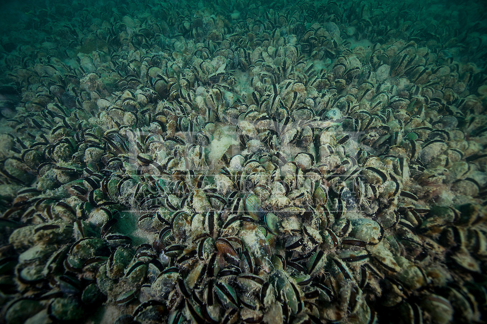 Perna canaliculus (green-lipped mussel) bed in the Hauraki Gulf, Auckland. Thursday 16 October 2014. Photograph Richard Robinson © 2014.