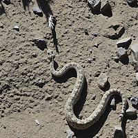 Sidewinder rattlesnake ( Crotalus cerastes )&amp;#xA;Low desert scrub. Avra valley, Arizona, United States&amp;#xA;&copy; Kike Calvo - V&amp;W&amp;#xA;( reptile, venomous, movement, adaptation, snake<br />