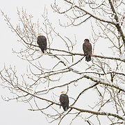 Three bald eagles (Haliaeetus leucocephalus) - two adults and one juvenile - rest in a snow-covered tree in the Squamish River Valley near Brackendale, British Columbia, Canada. Hundreds of bald eagles winter in the river valley to feast on spawning salmon.