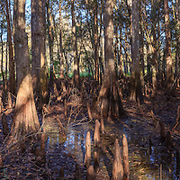 Panoramic view of the interior of a cypress grove on an island in Florida's Fisheating Creek, in the Fisheating Creek Wildlife Management Area (WMA). WATERMARKS WILL NOT APPEAR ON PRINTS OR LICENSED IMAGES.
