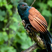 Greater coucal.