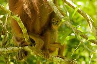 Bornean Orangutan - &quot;wurmbii&quot; subspecies<br />(Pongo pygmaeus wurmbii)<br /><br />Cabang Panti Research Station<br />Gunung Palung National Park<br />West Kalimantan, Indonesia<br />Borneo Island<br /><br />Female = Beth<br />Infant = Benny