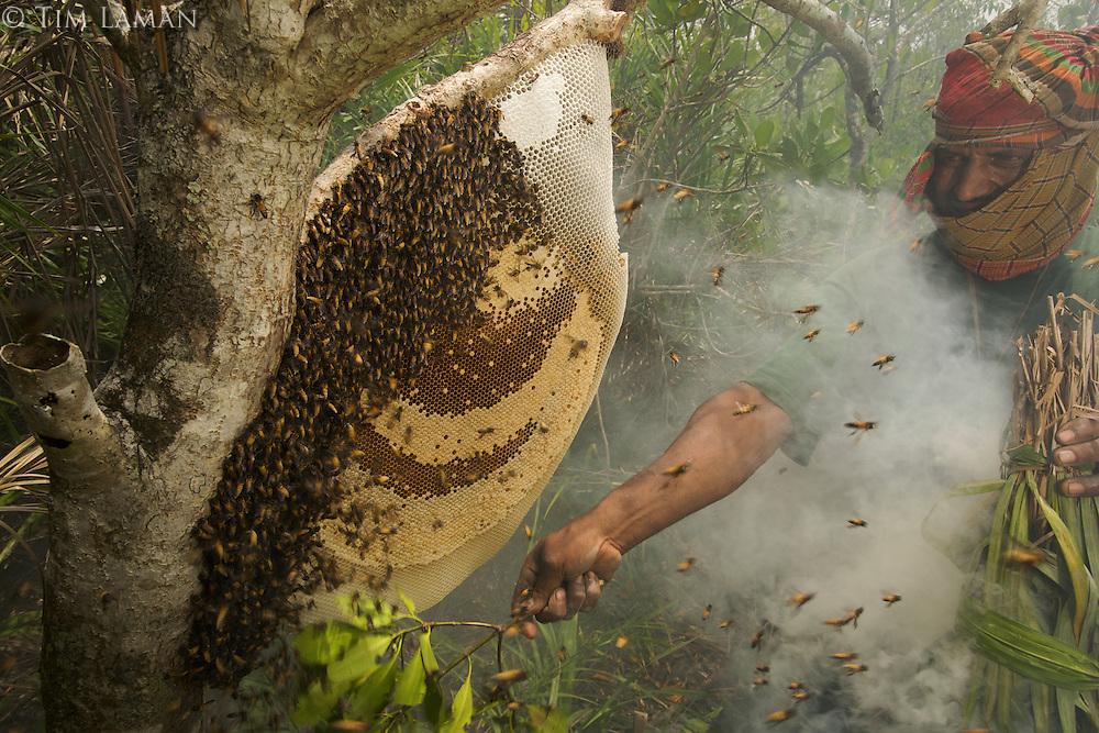 Чистить пчел с сотовой структурой Гигантского пчелиных (гигантская пчела), используя дым подчинить пчел перед разрезанием соты и сбора меда.
