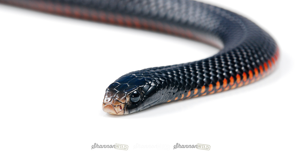 Red Bellied Black Snake Pseudechis Porphyriacus Red Bellied Black Snake