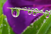a single blade of grass covered in dew drops in front of a purple flower, and the dew contains a picture of the purple flower