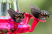 pipevine swallowtail, butterfly, feeding at hummingbird feeder, Madera Canyon, Arizona, late summer