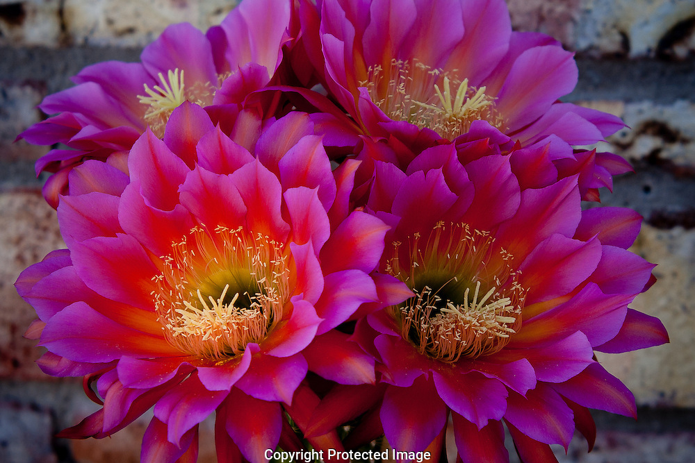 Argentine giant cactus are fragrant as well as beautiful for Cactus argentina