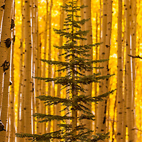 Young Spruce tree with an Aspen curtain