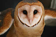 Barn Owl spreading it's wings, preparing to launch from it's rafter perch.