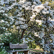 White hybrid rhododendron flowers bloom over bench, in Meerkerk Gardens, Whidbey Island, Washington, USA. To see the park's blossoms at their spectacular peak, visit around late April or early May. Getting there: 2 miles south of Greenbank, turn east at the corner of Highway 525 and Resort Road, and go to 3531 Meerkerk Lane. (Photo was taken May 22, 2015.)