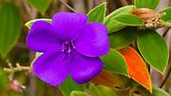 The purple Glory Bush (Tibouchina urvilleana) has invasively naturalized throughout the Hawaiian islands