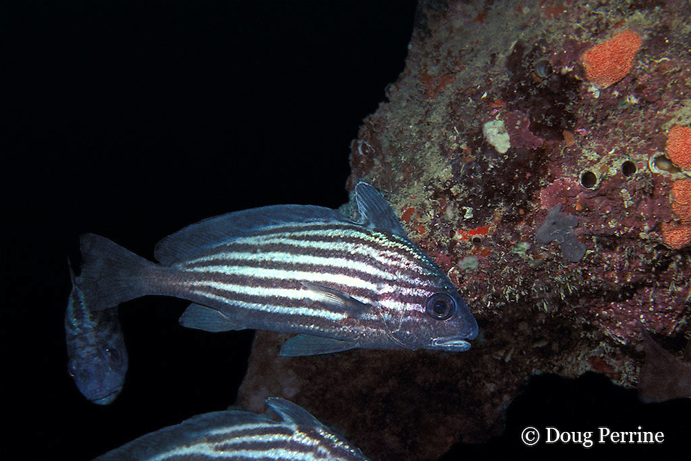 highhats, high hats, or high-hats, Equetus acuminatus, Hillsboro, Florida, USA ( Atlantic Ocean )