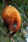 Red howler monkey<br /> (Alouatta macconnelli)<br /> GUYANA<br /> South America<br /> RANGE: Guyana, Trinidad, French Guiana, Brazil.