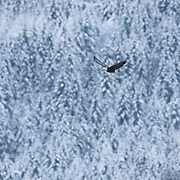 An adult bald eagle (Haliaeetus leucocephalus) flies next to a snow-covered hillside along the Nooksack River near Welcome, Washington. Hundreds of bald eagles winter in the area to feast on spawned-out salmon.