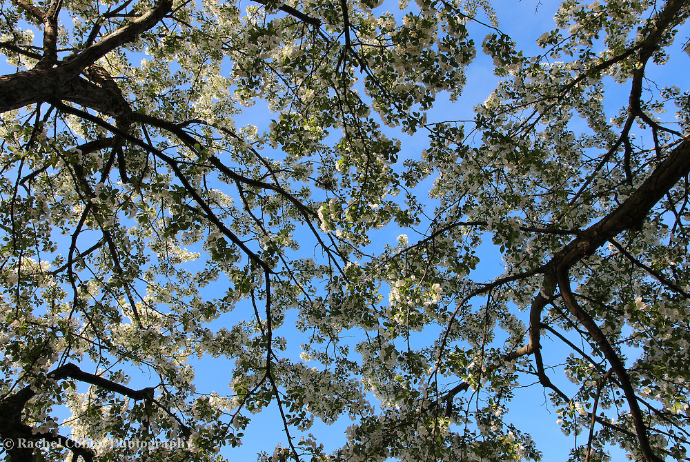 &quot;Under Blue Skies and Blossoms&quot;<br /> <br /> Ah, the sheer joy of spring! Gazing up at lovely branches filled with white blossoms against a bright blue sky!!<br /> <br /> Flowers by Rachel Cohen