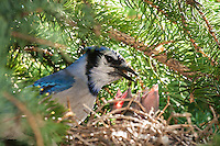 This is just a preview of 100's of images I made of this family of Blue Jays with ababies this morning at my friends house.  The eggs hatched this week!<br /> <br /> &copy;2009, Sean Phillips<br /> http://www.RiverwoodPhotography.com