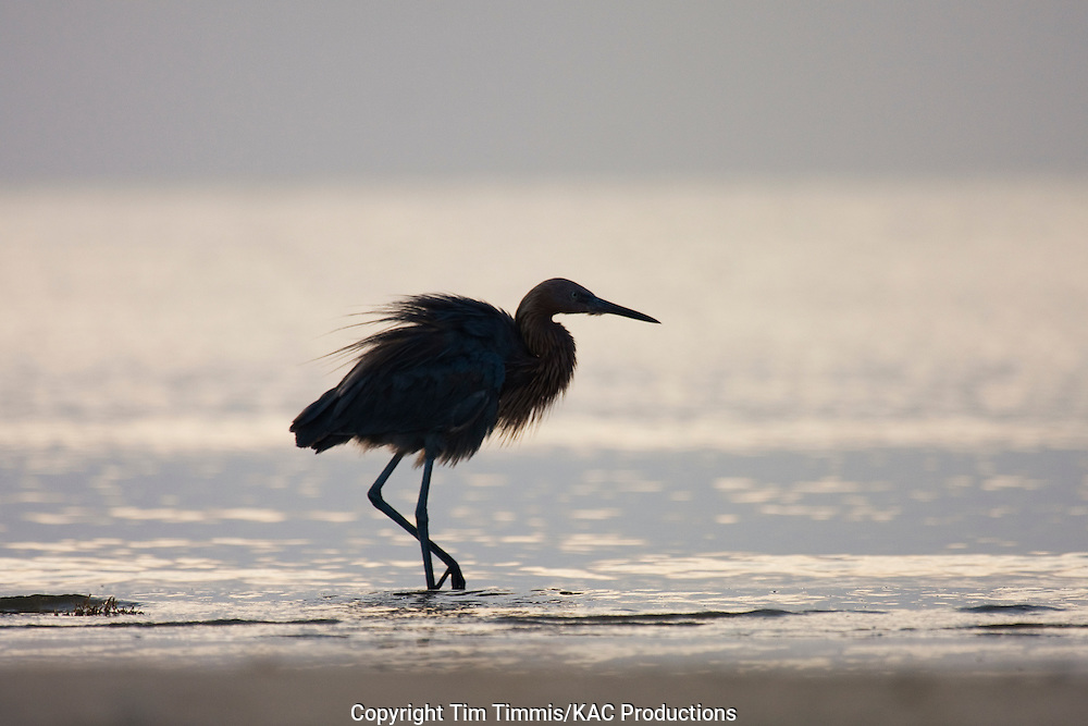 Reddish Egret, Egretta rufescens, Bolivar Flats, Texas gulf coast, silhouette, ruffled feathers, raised leg