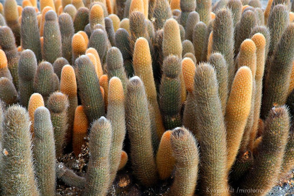 South America, Ecuador, Galapagos Islands. Lava Cactus thrives on Fernandina Island.