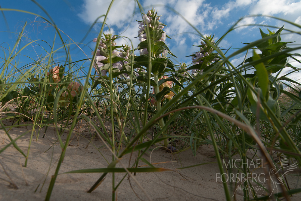 Nebraska Sandhills, near Mullen.<br /> <br /> Blowout Penstemon (federally endangered plant species) blooming in a sandhills blowout.