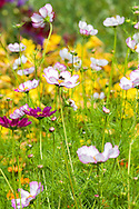 Bess polinate a bed of Cosmos in an English garden, photographed in August.