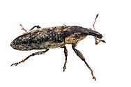 Ragweed Weevil (Lixus scrobicollis)<br /> TEXAS: Edwards County<br /> off C.R. 24; Camp Wood, 6 km NW<br /> 29-May-2012<br /> J.C. Abbott &amp; K.K. Abbott