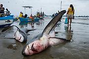 Thresher Shark With Fishermen (Alopias vulpinus)<br /> Puerto Lopez<br /> Manabi Province<br /> Ecuador<br /> South America