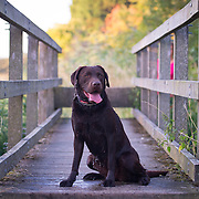 Ellie the Labrador