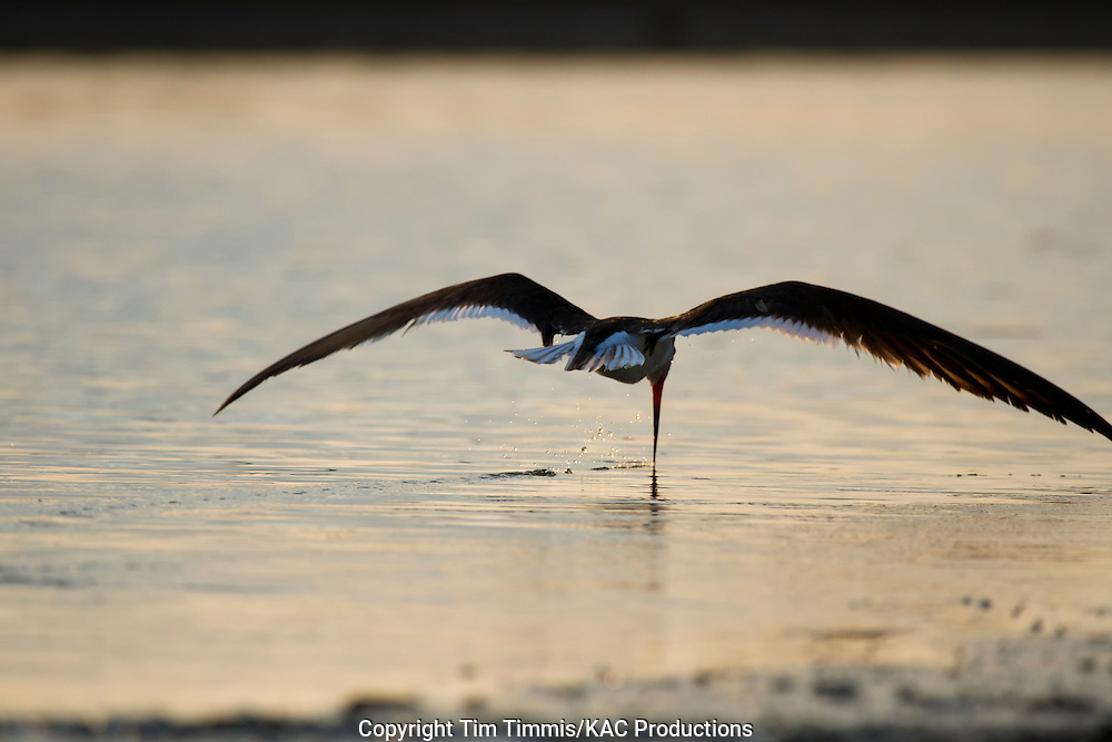 Black Skimmer, Rynchops niger, Bryan Beach, Texas gulf coast, skimming with beak in water, going away