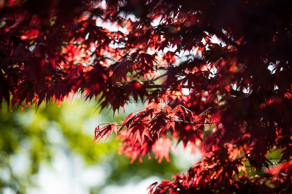 2013 April 16 - Maple leaves backlit by the sun, Seattle, WA. By Richard Walker