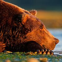 USA, Alaska, Katmai National Park, Coastal Brown Bear (Ursus arctos) resting along salmon spawning stream at sunrise along Kukak Bay on late summer morning