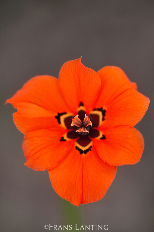 Endangered Iris, Moraea insolens, South Africa