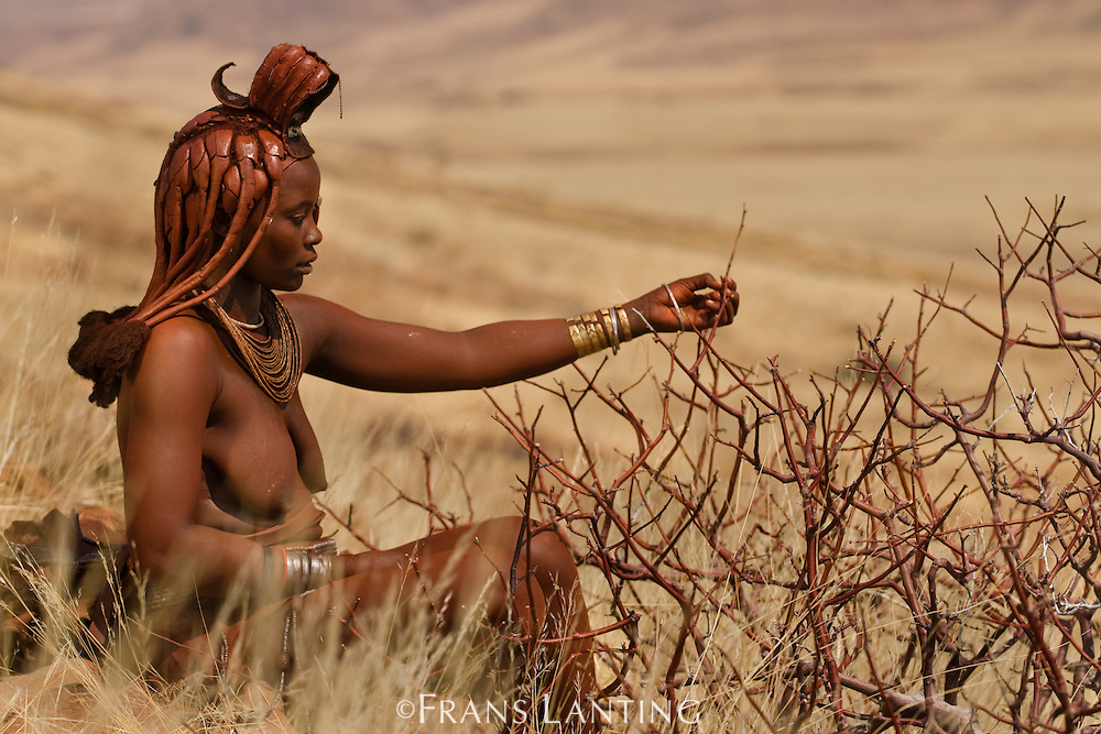 Himba woman harvesting resin from perfume plant, Commiphora wildii, Puros Conservancy, Damaraland, Namibia