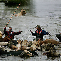 Cattle Wranglers guide a herd of stranded cows to higher ground as flood waters rise, due to a levy break, in Chauvin, Louisiana on.  Hurricane Rita caused massive damage as it moved across Southern Texas and Louisiana.