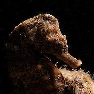 Meditrrenean Sea Horse (Hippocampus hippocampus) at night dive near Maagan Michael