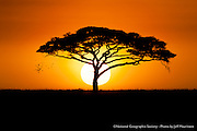 A flock of birds fly past an acacia tree, as the sun rises over the Serengeti Plains.