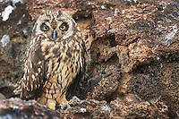 Galapagos Short-eared Owl on Genevesa Island in the Galapagos National Park, Ecuador.