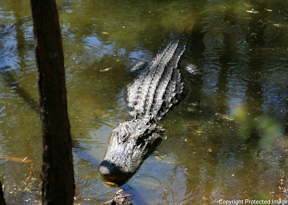 Large Jekyll Island Alligator waiting for unwary prey in a swamp