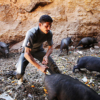 Zabbaleen and pig farmer Morgan Girgis, 30-years-old, chases after a pig which will be brought to the slaughter house, inside a pig pen beside his home in a predominately Coptic Christian neighborhood in Manshiet Nasser in Cairo, Egypt. He was forced by the government to sell his pigs. May 2009.