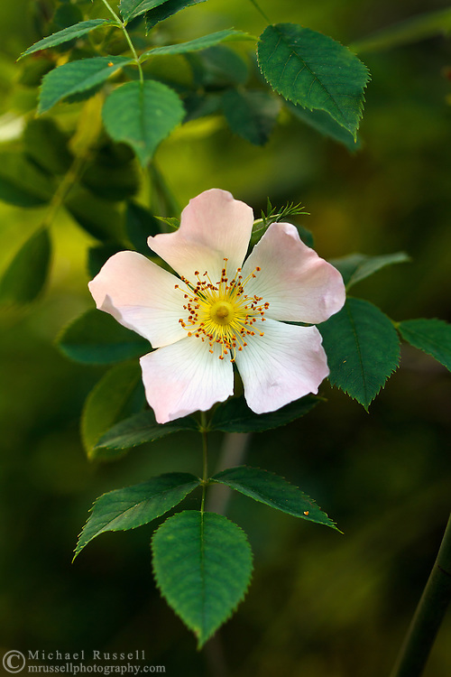 A Wild Rose flower in a Fraser Valley, British Columbia garden