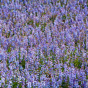 A patch of Lupines in full bloom in central Wisconsin. ..