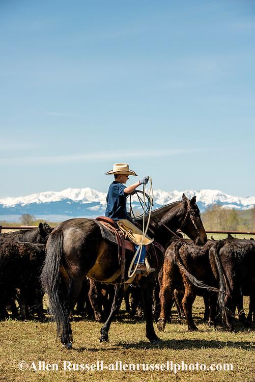 Cowboys, kids, Rodie Keyes, dragging calves to the fire, branding, Lazy SR Ranch, Wilsall, Montana