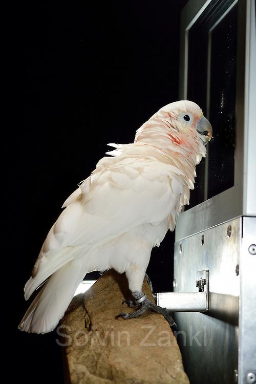 [captive] Goffin's cockatoos or Tanimbar Corellas (Cacatua goffini)   Goffinkakadu (Cacatua goffiniana) ist eine Papageienart und kommt in freier Wildbahn ausschließlich auf der indonesischen Inselgruppe Tanimbar vor. Diese Aufnahmen wurden in Gefangenschaft aufgenommen.