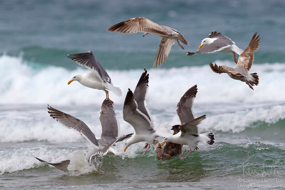 Several Western Gulls (Larus occidentalis) dive for fish in the Pacific Ocean off Chapman Point near Cannon Beach, Oregon. Western Gulls are rarely seen away from the ocean and are found along the west coast of North America from Washington to Baja California. The mostly white birds are adults; the brown birds are juveniles.