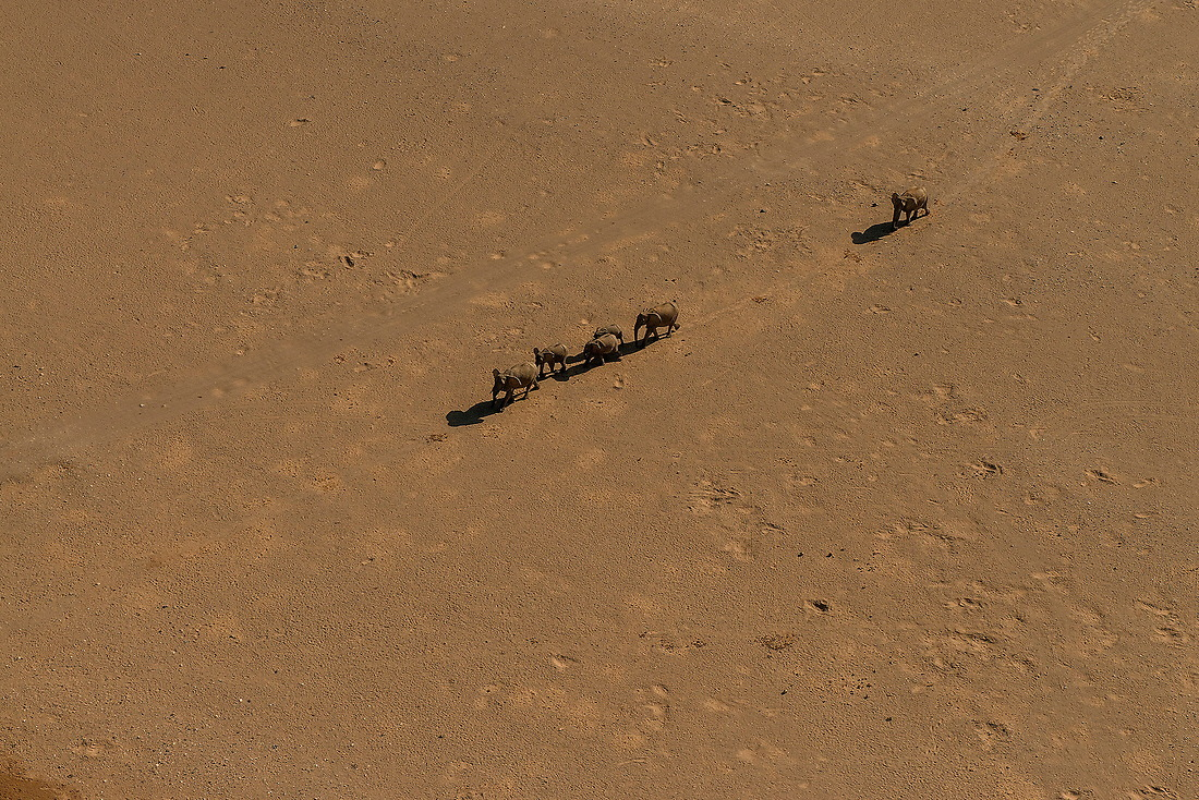 Desert elephants cross the Namib Desert on August 14, 2015.  Desert-adapted elephants are found predominantly in the Kaokoland and Damaraland regions of north-west Namibia. They have adapted to their dry, semi-desert environment by having a smaller body mass with proportionally longer legs and seemingly larger feet than other elephants. Their physical attributes allow them to cross miles of sand dunes to reach water. They survive by eating moisture-laden vegetation growing in ephemeral riverbeds and with their ability to go several days without drinking water. — © /Jeremy Lock