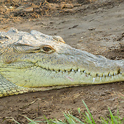 American Crocodile <br /> Crocodylus acutus <br /> San Blas, Nayarit, Mexico<br /> 7 June     Adult       Crocodylidae